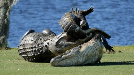 Gators fight on golf course pkg_00004724