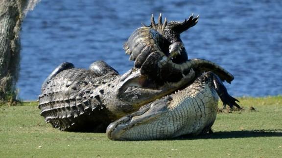 Gators fight on golf course pkg_00004724.jpg