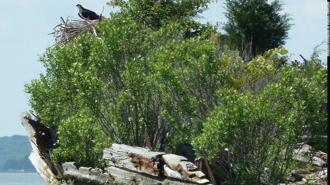 Rare bird species like the osprey and bald eagle have flourished, making nests on board many of the ships.