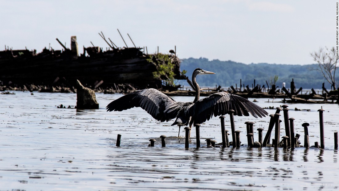 The 185 documented vessels at Mallows Bay have become a nature haven for species including the great blue heron. Locals have nominated the area for national marine sanctuary status -- the U.S. has only 14 such protected areas.