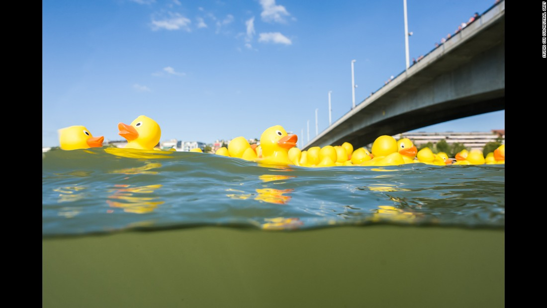 Plastic ducks float in Basel, Switzerland.