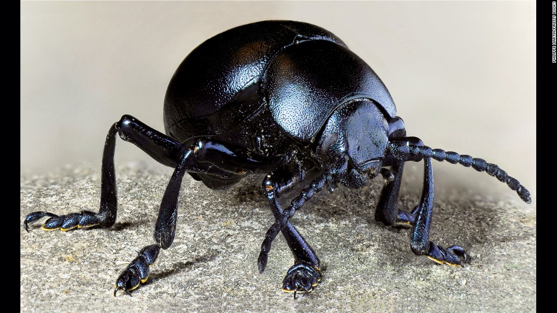 "A female bloody-nosed beetle (Timarcha tenebricosa) was photographed in a light box to reveal all the nuances of its dominant black color. It's one of the many images in Philippe Martin's book ""Hyper Nature."""