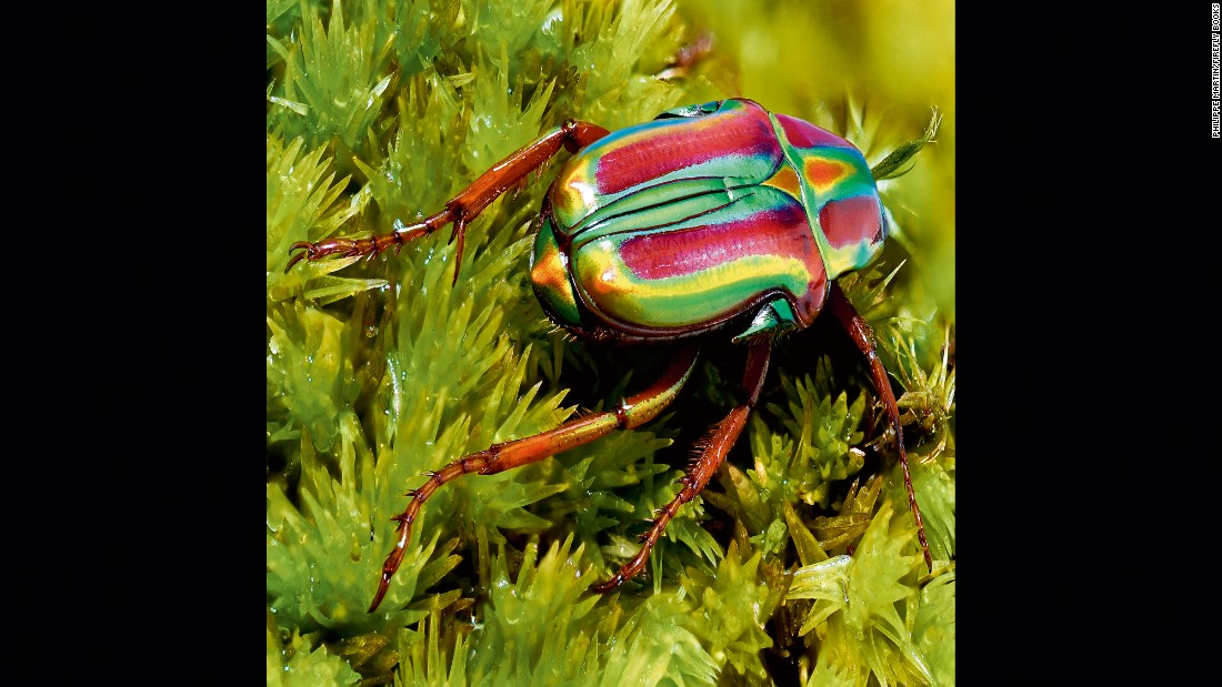 Pygora lenocinia is a small, multicolored beetle with iridescent metallic reflections.