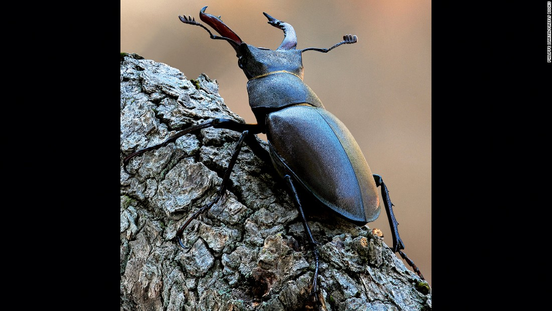 The male stag beetle (Lucanus cervus) is the largest beetle in Europe.
