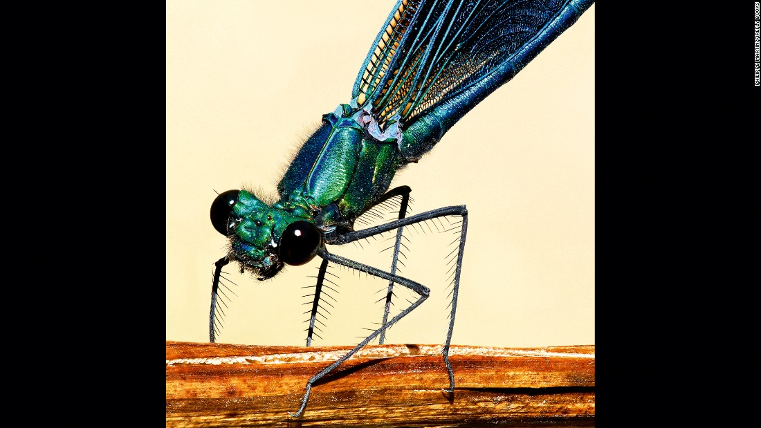 A male demoiselle damselfly (Calopteryx virgo)