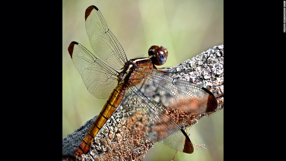 A dragonfly (Thermorthemis madagascariensis) is ready to take off in search of prey.