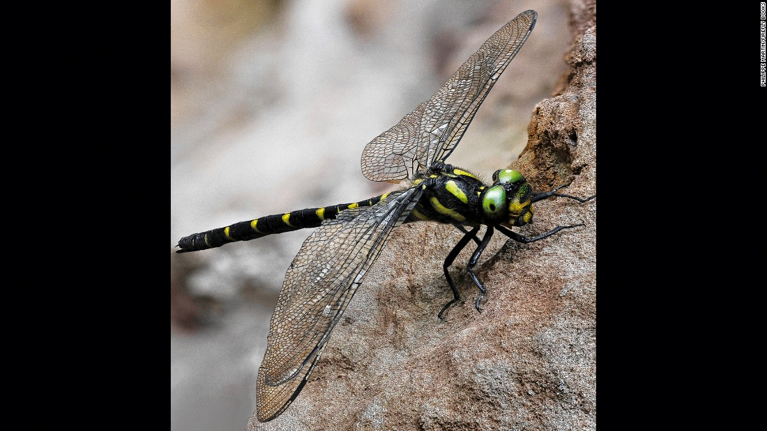A golden-ringed dragonfly (Cordulegaster boltonii)