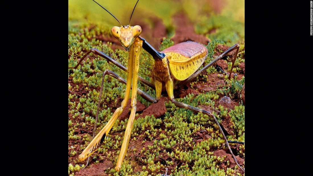 A great tropical praying mantis (Tisma freyi)