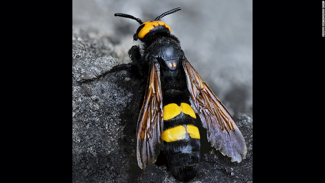 A female mammoth wasp (Megascolia maculata)