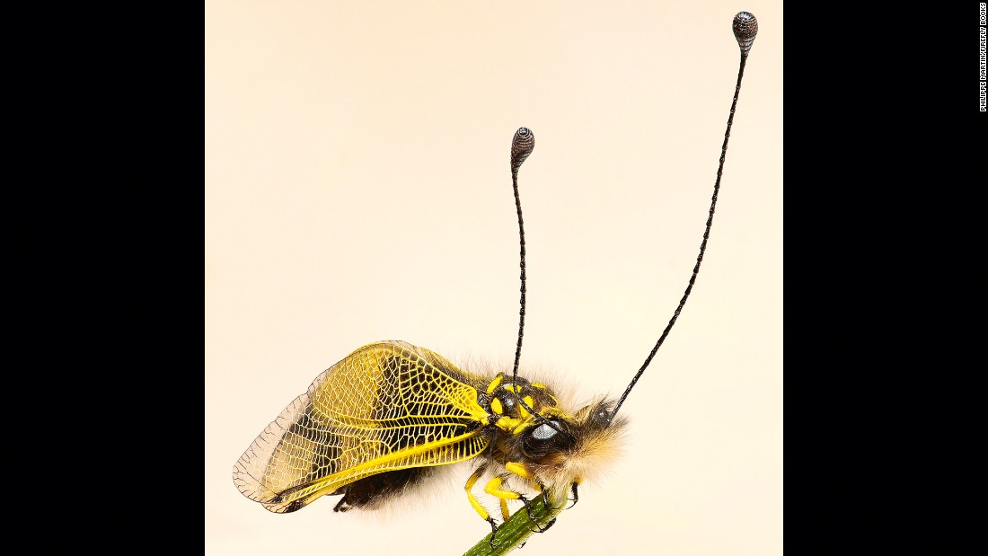 This net-winged amber-colored owlfly, of the genus Libelloides (Ascalaphinae), flies over grass in search of prey.