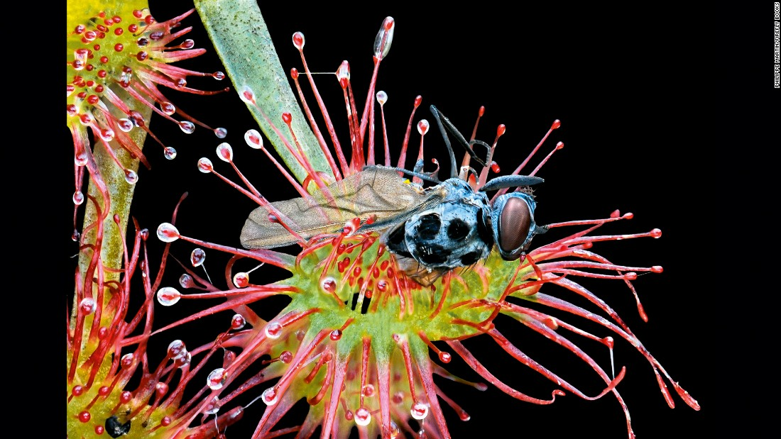 A small midge (Anthomyia pluvialis) is trapped in a sundew.