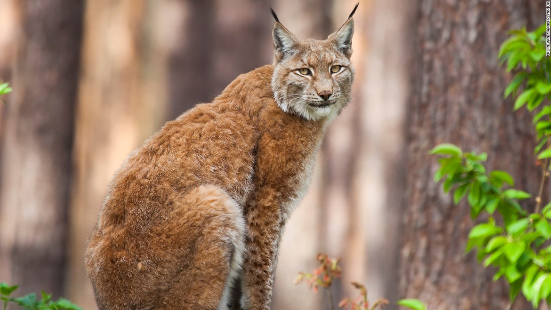 The lynx has already been re-introduced to several European countries -- including Germany, where it has sparked an eco-tourism industry.