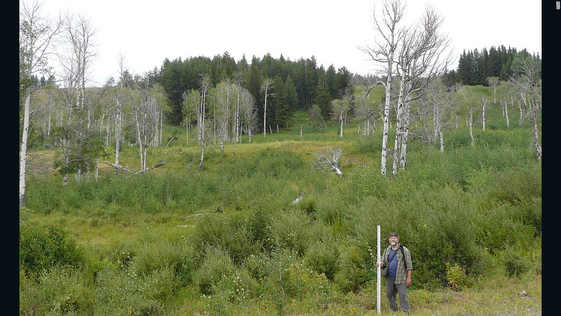 Oregon State University researchers monitoring the recovery of Aspen trees following the wolves' re-introduction.