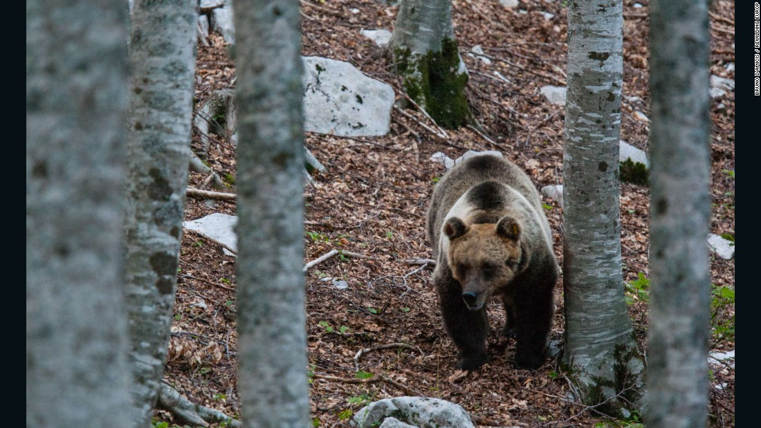 The Marsican brown bear has been re-introduced to parts of Italy.