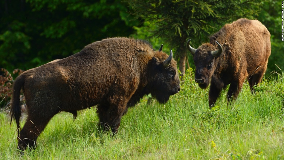 The Rewilding Europe network has dozens of members and programs, such as returning bison to the Carpathian Mountains.