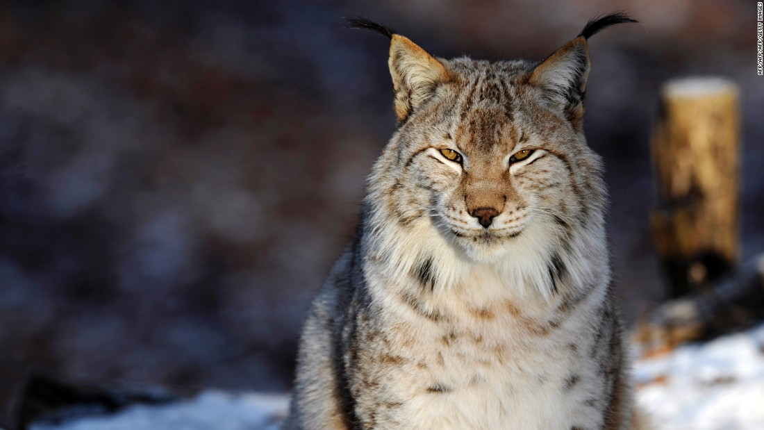 The Eurasian Lynx may be returning to the U.K. over 1,000 years after being driven to extinction, through a radical rewilding initiative.