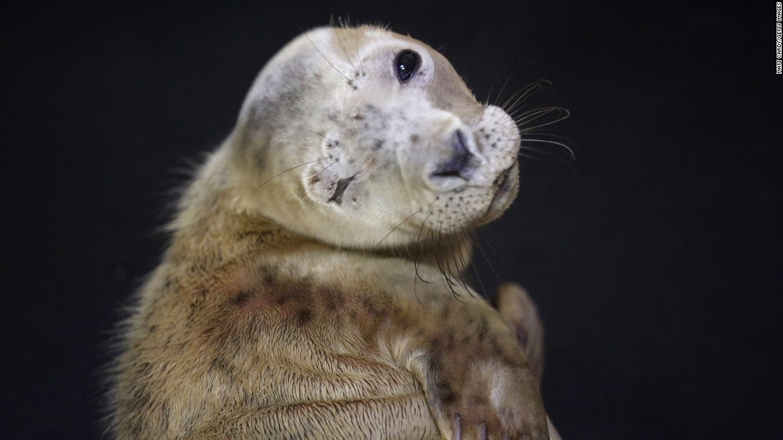 A baby seal with an injured eye looks out from its cubicle as it is rehabilitated in Taunton, England, on Wednesday, December 9. The RSPCA Centre has had an influx of seals after recent storms.