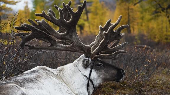 """Elk has a """"dry, more wild taste,"""" says Fenaknoken"""