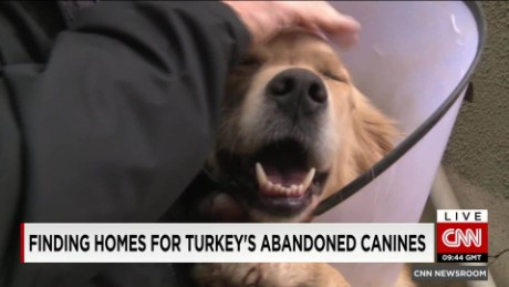 Finding homes for Turkey's abandoned dogs_00003711