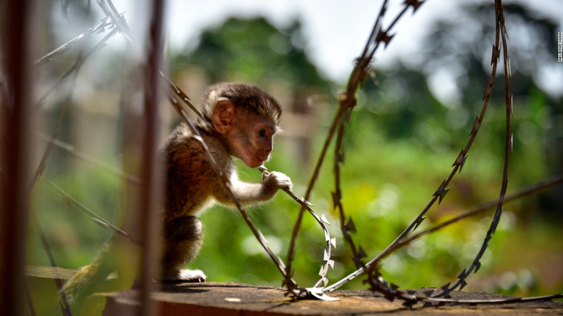 "<a href=""https://www.instagram.com/majabu14/"" target=""_blank"">Abu Mwesigwa<strong></a> </strong>placed third in the nature category with ""Cry for Help."" A barbed razor wire fence meant to stop thieves ends up trapping a Vervet monkey. In Uganda, many sanctuaries for monkeys have been demolished and been replaced with houses and farmland."
