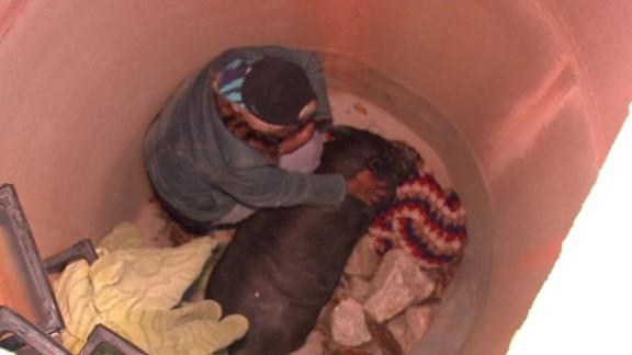 pig rescued from manhole atlanta_00001411.jpg