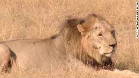 us lists african lion endangered flocken intv_00004802.jpg