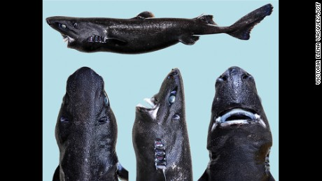 A new species of lanternshark, Etmopterus benchleyi, has been named the ninja lanternshark.