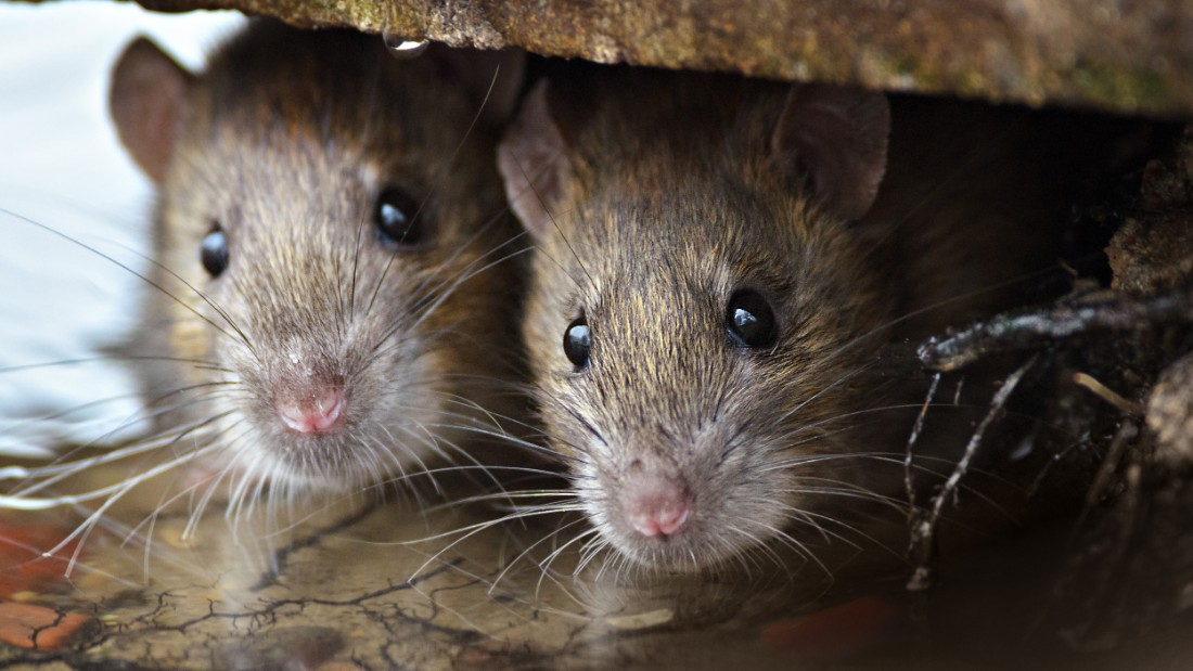 The first known outbreak of plague in the United States came after infected rodents from China that were on ships mingled with urban rats in port cities. Los Angeles had an outbreak of plague in 1924.