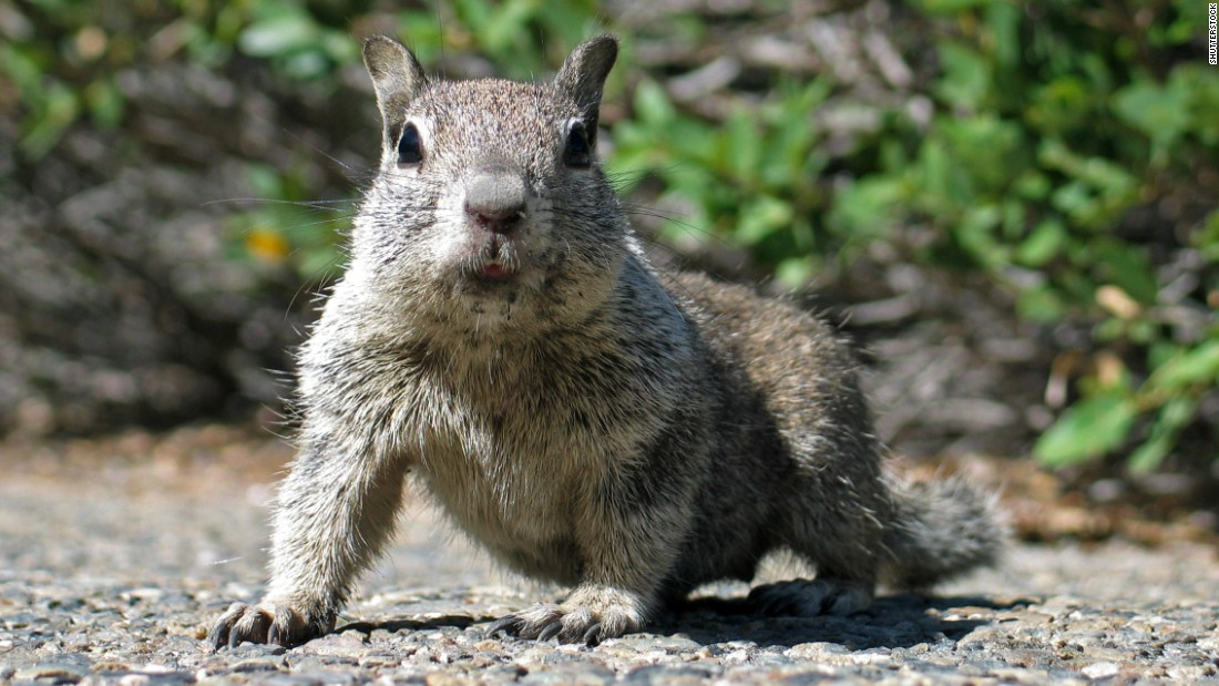 The California ground squirrel is highly susceptible to becoming infected with the plague and transmitting it widely to other squirrels.