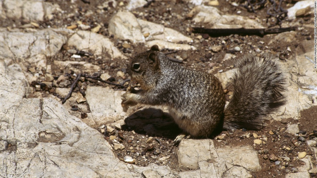 Rock squirrels are also highly susceptible to plague bacteria and can spread it widely among its species.