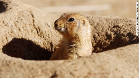 Pest-infected prairie dogs have shut down parts of a Denver suburb