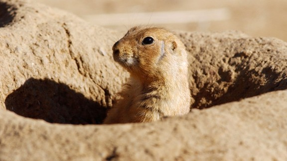 SAN FRANCISCO - UNDATED:  A prairie dog peeks out from a hole at the San Francisco Zoo in this undated file photo. An official at the Centers for Disease Control and Prevention answered questions June 9, 2003 regarding the viral disease Monkeypox, which is thought to be spread by prairie dogs. The Monkeypox virus has been detected in the Americas for the first time with approximately 20 cases reported in Wisconsin, Illinois, and Indiana.  (Photo by Justin Sullivan/Getty Images)