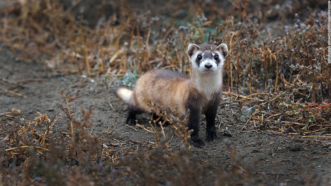 "Scientists are testing vaccines to protect the <a href=""http://www.nwhc.usgs.gov/disease_information/sylvatic_plague/publications/protecting_black-footed_ferrets.pdf"" target=""_blank"">black-footed ferret</a>, an endangered species, from getting the plague. The species has experienced devastating losses from the plague over the years."