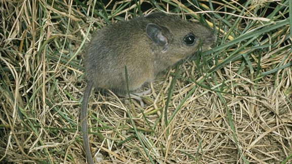"""The deer mouse is <a href=""""https://www.aphis.usda.gov/wildlife_damage/nwrc/publications/12pubs/witmer127.pdf"""" target=""""_blank"""" target=""""_blank"""">a potential source</a> of diseases including the plague, salmonellosis and hantavirus."""