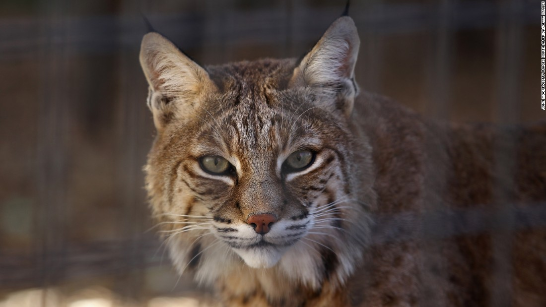<strong>Illinois:</strong> Bobcats are now considered fair game during hunting season.