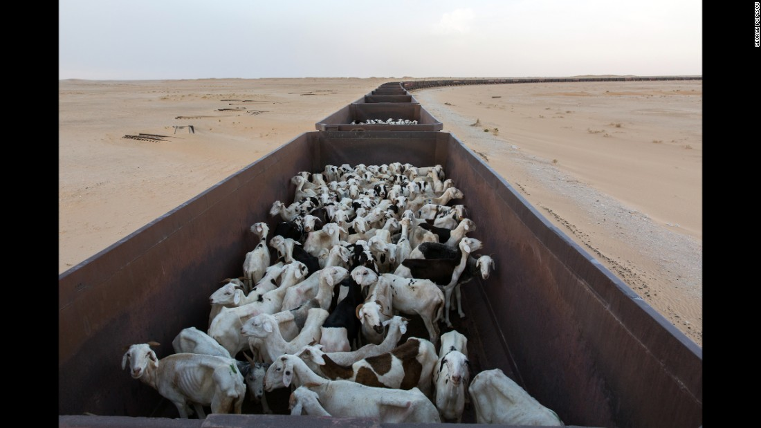 Wagons are loaded with livestock before the start of a journey.