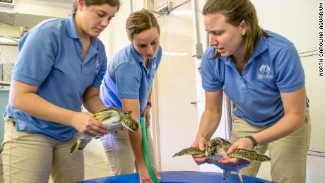 Workers at an aquarium in North Carolina check sea turtles for mobility and strength.