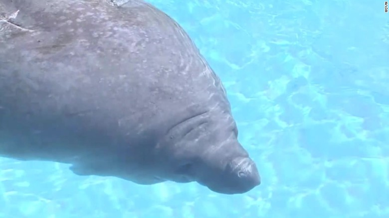 Saving The Manatee Should They Stay Listed As Endangered Cnn