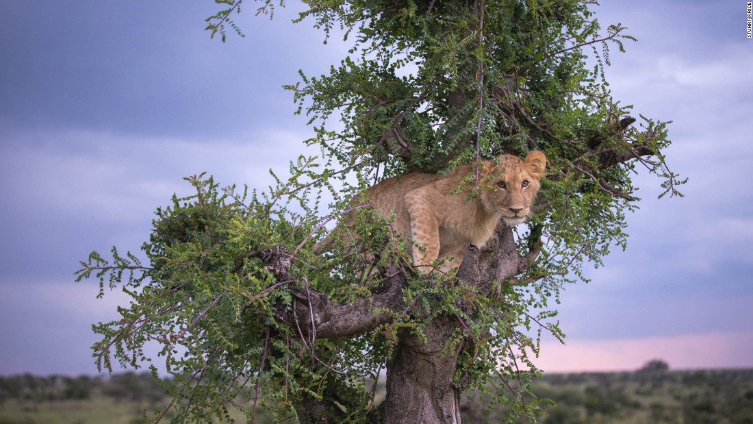 The camera crew say the managed to capture several spontaneous and surprising moments, like when a six-month-old lion attempted to climb a tree to hide out from a thunderstorm in Kenya's Olare Motorogi Conservancy.