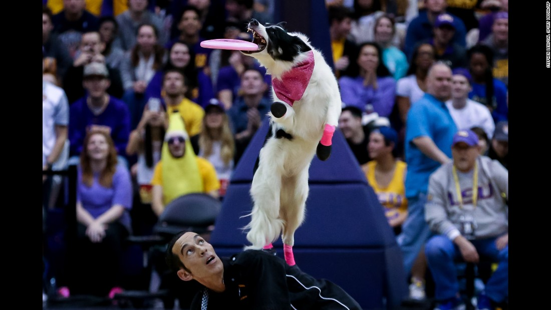 A dog performs at halftime of a college basketball game in Baton Rouge, Louisiana, on Wednesday, January 13.