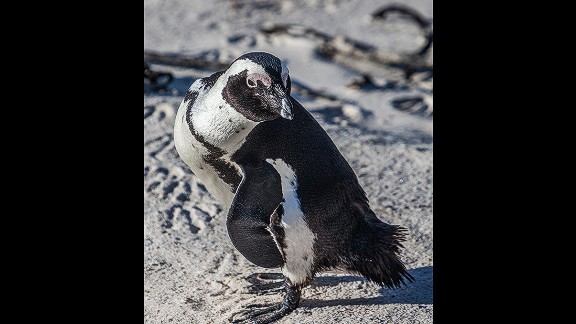 The warmer climes of coastal South Africa and Namibia are home to the African or jackass penguin. Boulders Beach near Cape Town, South Africa, is a popular destination for penguin spotting.