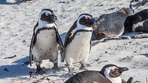 African penguins are listed as an endangered species. Their decreasing population is spurred by loss of nesting grounds due to guano removal by humans, as well as a decreasing food supply as a result of overfishing.