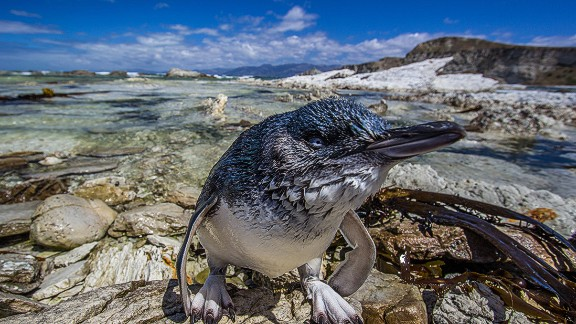 The little penguin, also known as the fairy or blue penguin, can be found on the coasts of New Zealand and southern Australia. They
