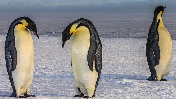 There are 17 species of penguin, with emperor penguins being the largest. They weigh up to 45 kilos (100 pounds) and grow to 120 centimeters (48 inches) tall. These three are pictured on sea ice at McMurdo Sound in Antarctica.