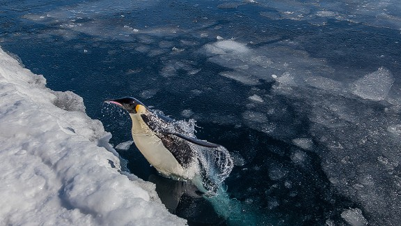 As with most polar species, penguins are feeling the effects of climate change. Ice melt is changing their breeding grounds and overfishing and ocean acidification is affecting their food sources of fish, squid and krill.