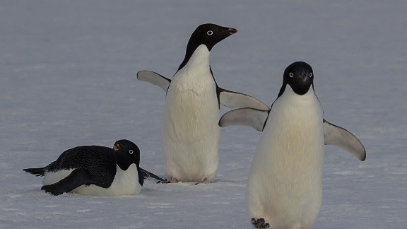 Less than half the size of an emperor penguin, Adelie penguins are one of the  smallest of the Antarctic penguin species. Each October, they build nests of rocks on land near open water.