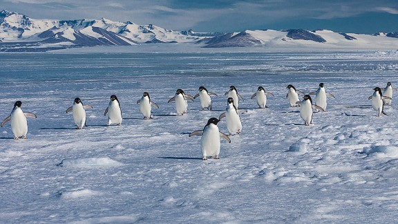 Adelie penguins face the same climate change dangers as emperors, such as reduced habitat and a diminishing food supply. However, due to their larger population, they