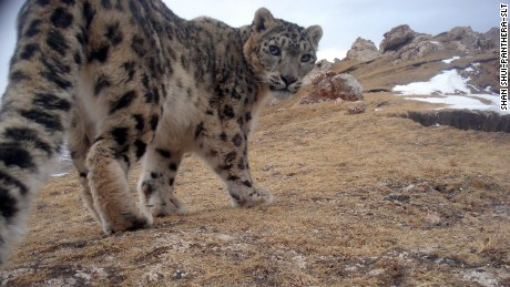 Big cats on the roof of the world: Protecting Asia's elusive snow leopards
