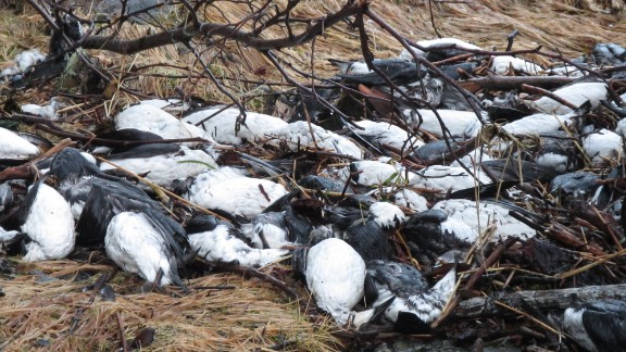 Tens of thousands of dead birds are washing up on the beaches of Alaskaís Prince William Sound, an unexplained mass die-off that some experts say may be related to the changing climate.The birds, all of a species known as the common murre, appear to have starved to death, federal wildlife officials say, suggesting disruptions to the supply of herring and other fish that make up the birdsí diet.