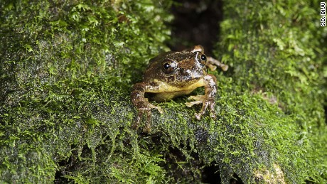 A tree frog only seen once in the 1870s has been found again